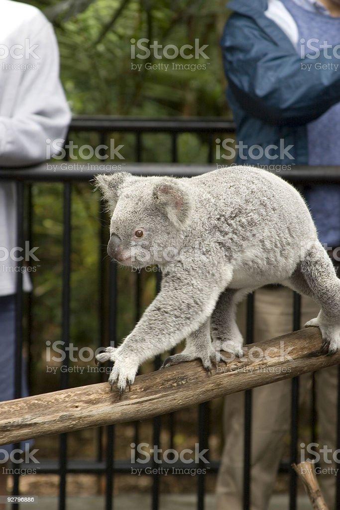 Active koala bear at Australia Zoo royalty-free stock photo