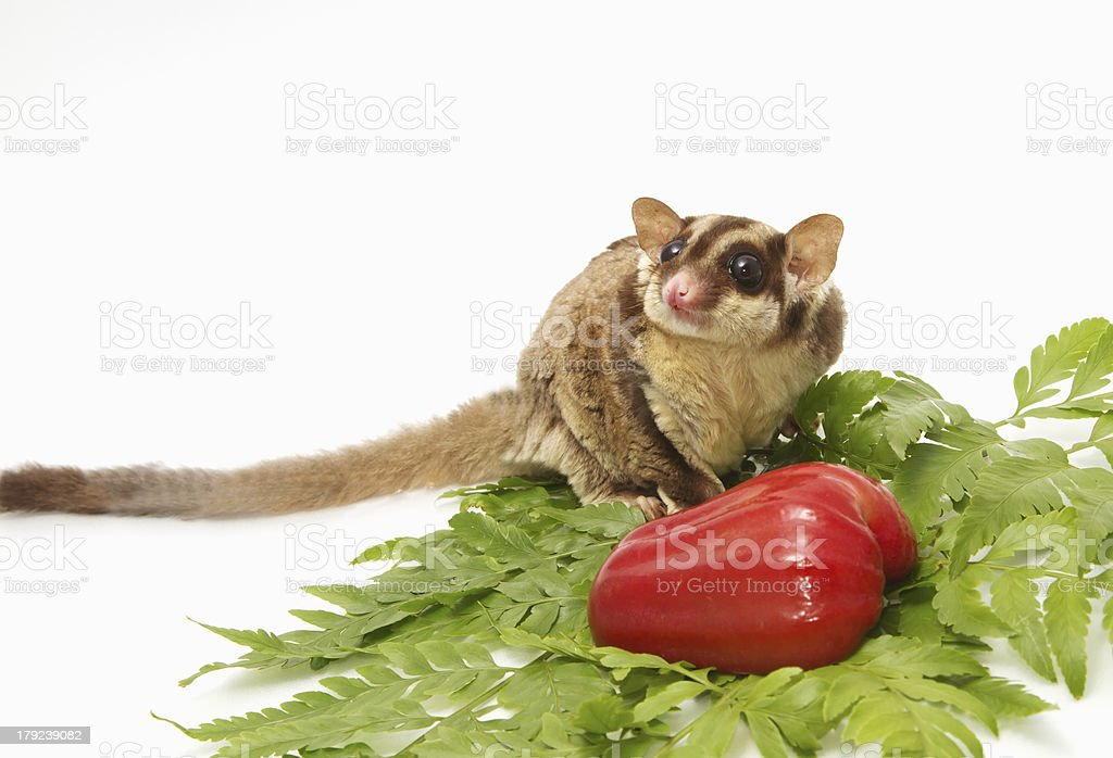 Active sugar-glider royalty-free stock photo