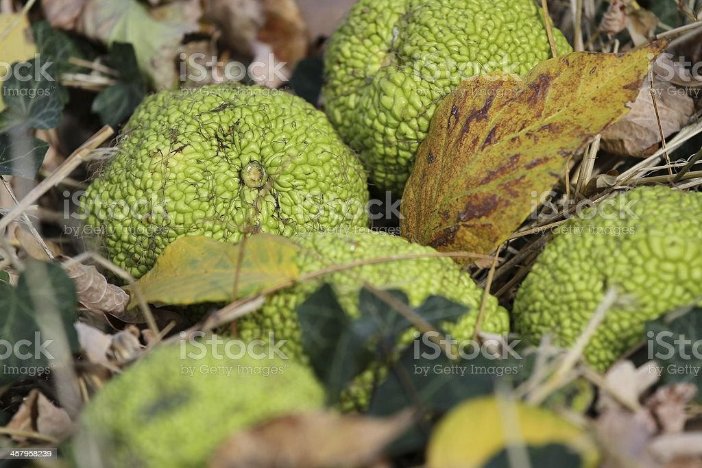 Adam's apple (McClure) of grass and leaves. stock photo