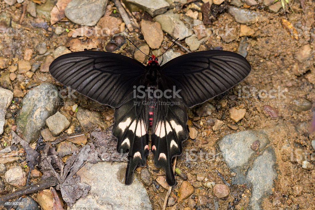 Adamson's Rose Butterfly stock photo