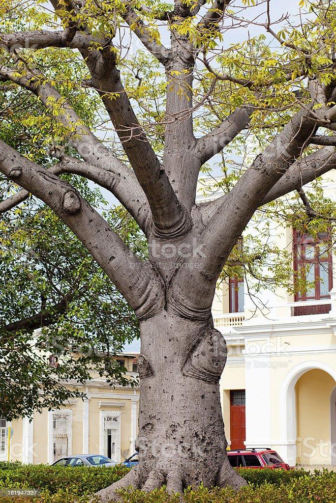 Adansonia - baobab tree royalty-free stock photo