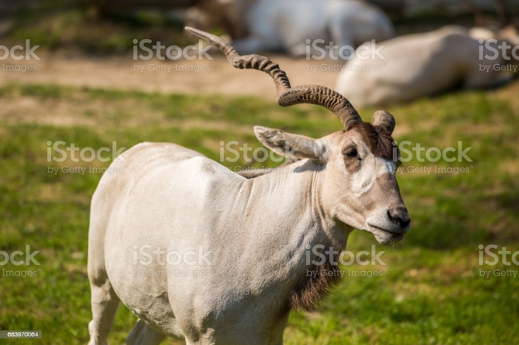 Addax antelope portrait stock photo