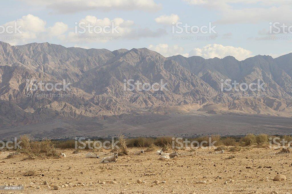 Addax/Arabian Oryx & Edom Mountains stock photo