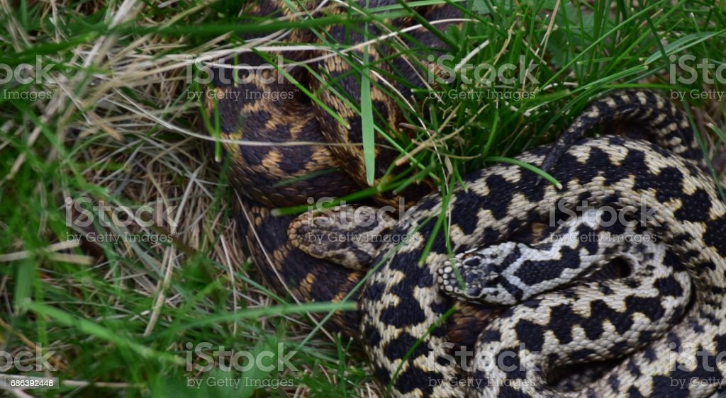 Adder Snake Surrey England UK stock photo