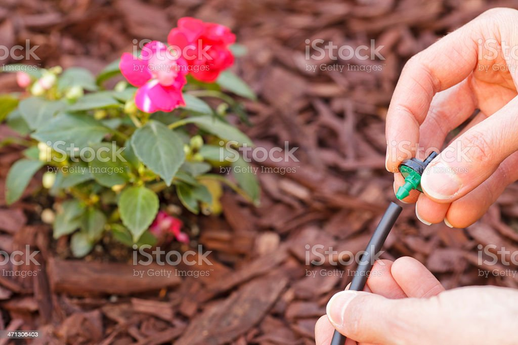 Adding an emitter to a water drip system stock photo