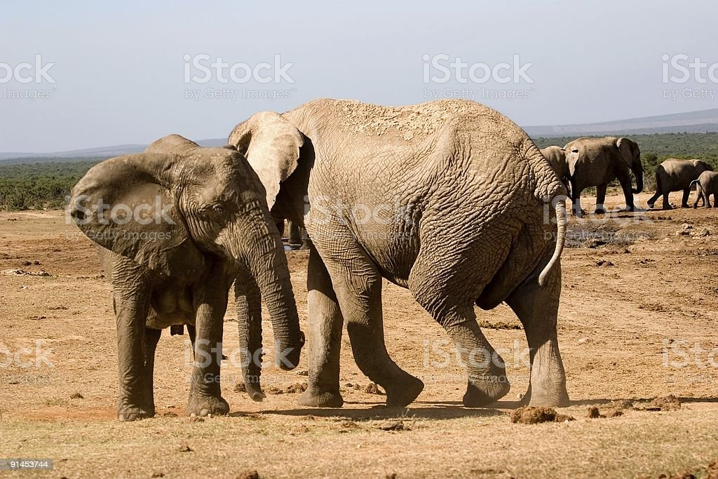 addo elephant stock photo