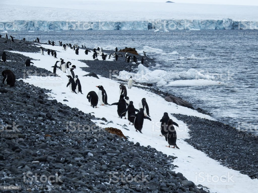 Adelie and gentoo penguin colony, Brown Bluff stock photo