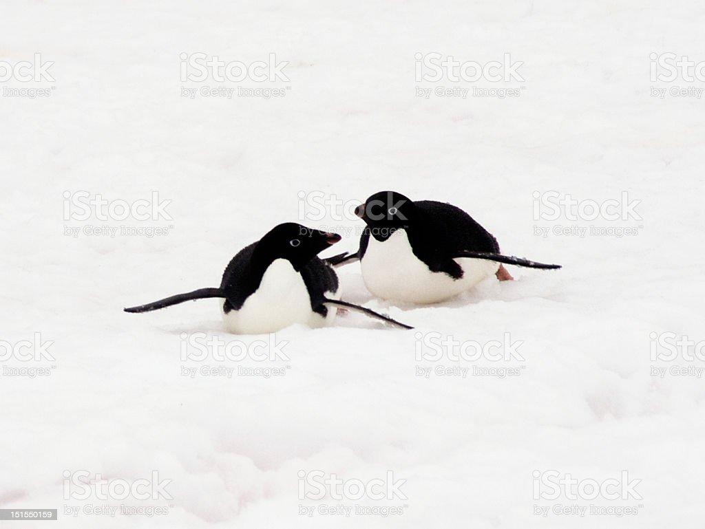 Adelie Penguin - 1 stock photo