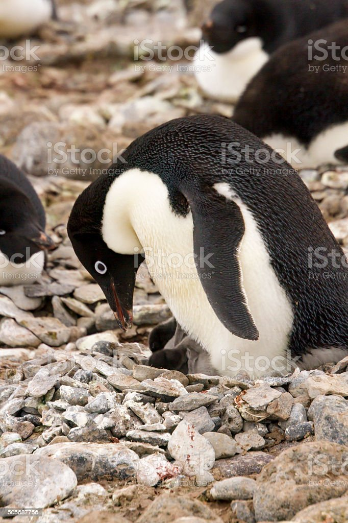 Adelie Penguin and chicks stock photo