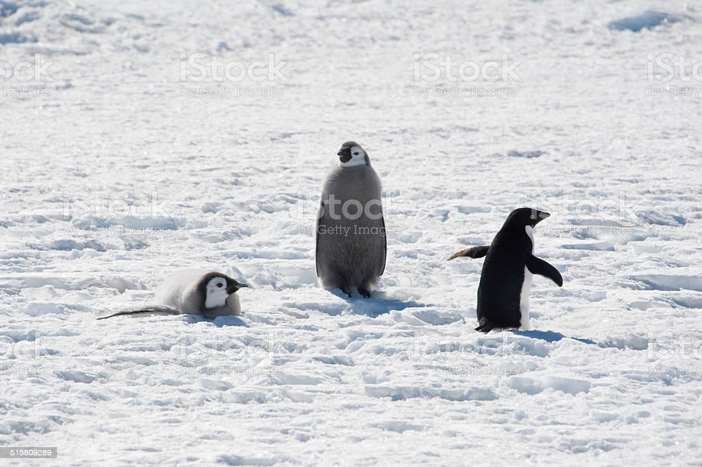 Adelie Penguin and Emperor Penguin Chicks stock photo