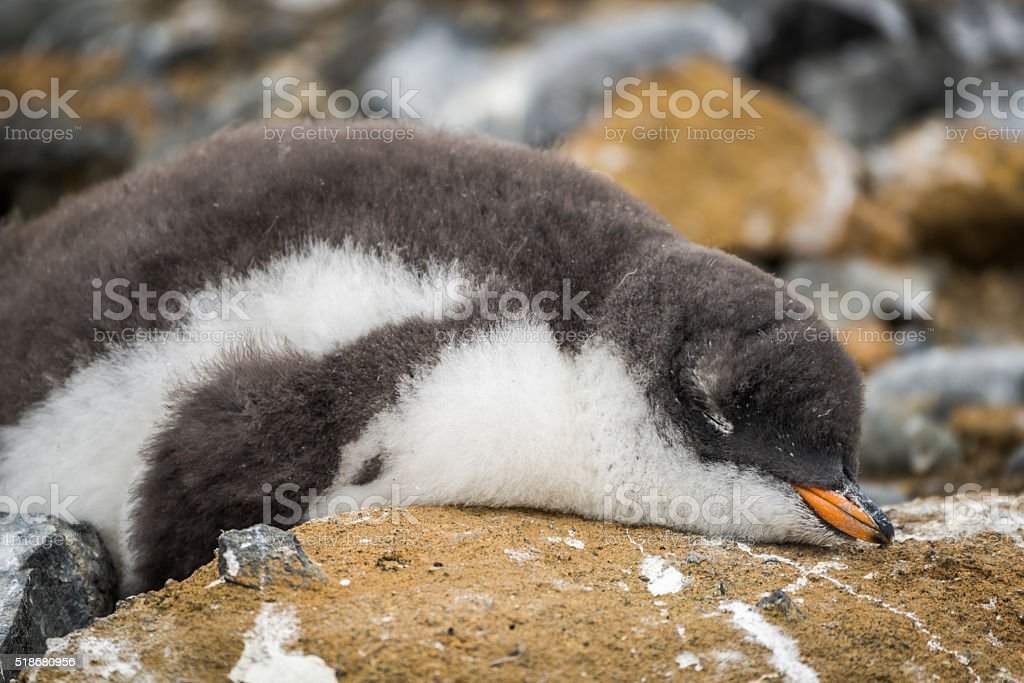 Adelie penguin asleep on rock with guano stock photo