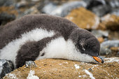 Adelie penguin asleep on rock with guano