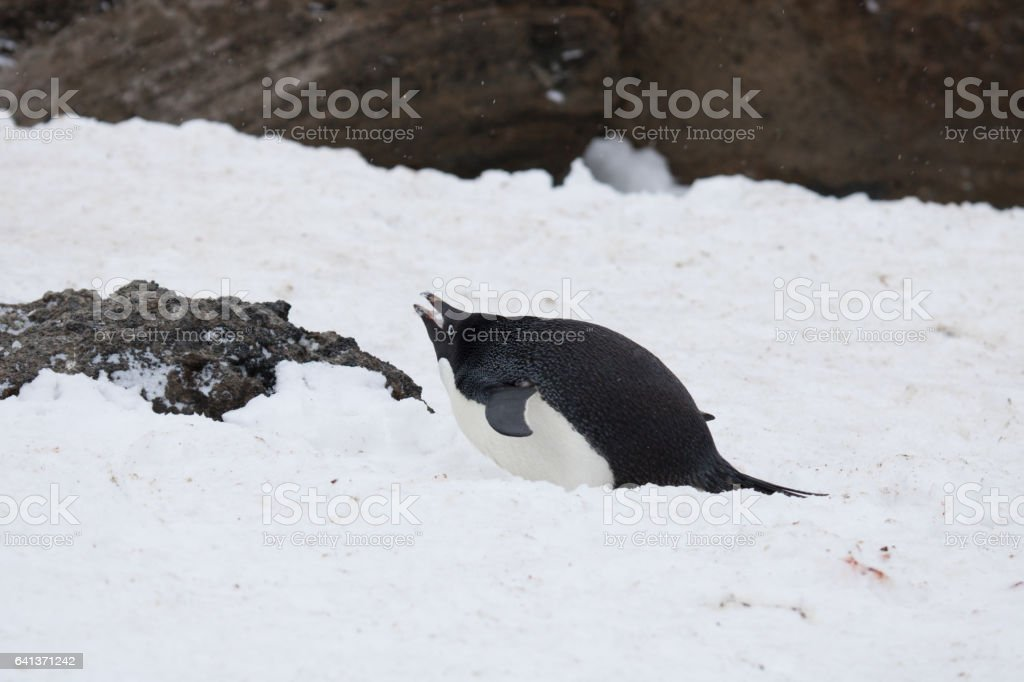 Adelie penguin eating snow to cool down stock photo