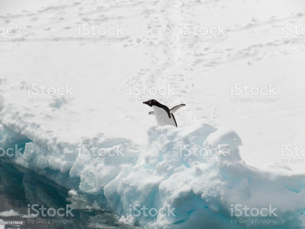 Adelie penguin hesistating to go in the water stock photo