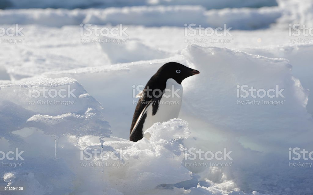 Adelie penguin in crevasse stock photo