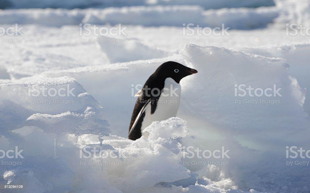 Adelie penguin in crevasse stock photo