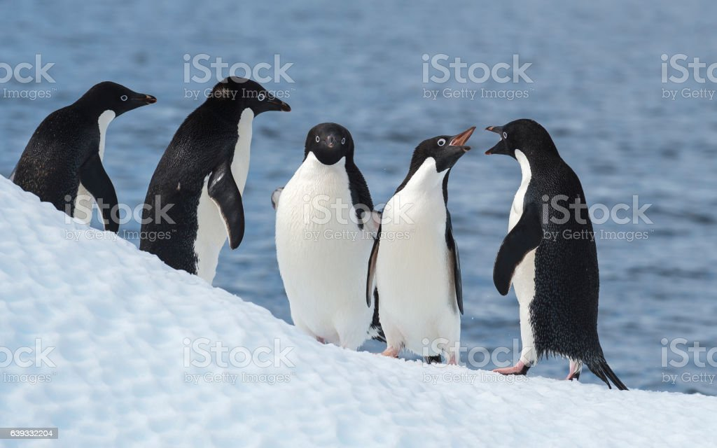Adelie Penguin jump stock photo