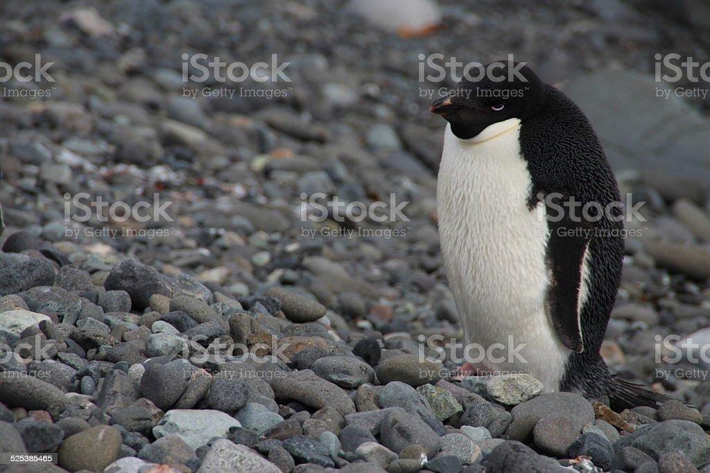 Adelie penguin, King George Island, Antarctica stock photo