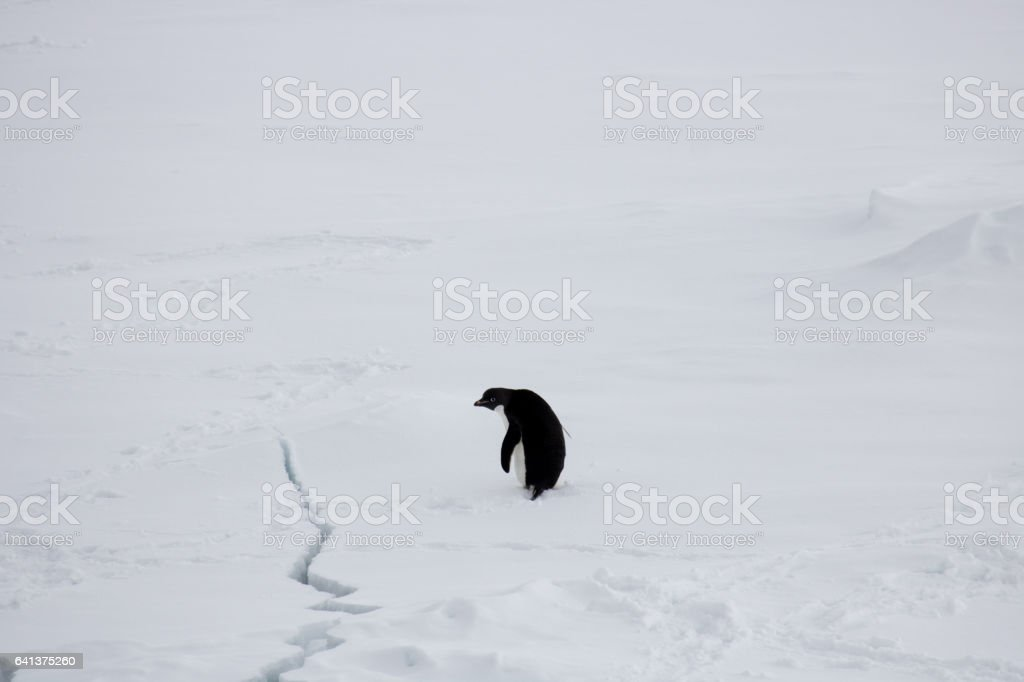 Adelie penguin looking at crack in the ice stock photo