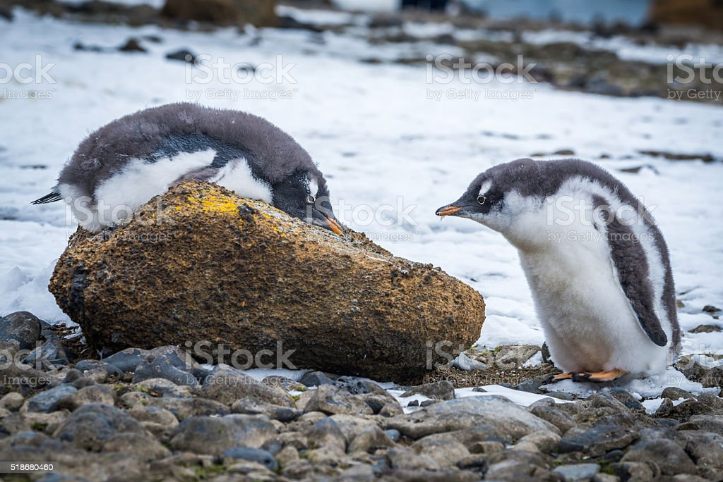 Adelie penguin lying on rock beside another stock photo