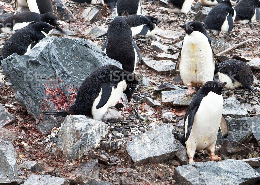 Adelie Penguin nursing Chick, Antarctica royalty-free stock photo