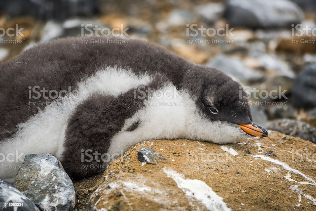 Adelie penguin on rock spattered with guano stock photo