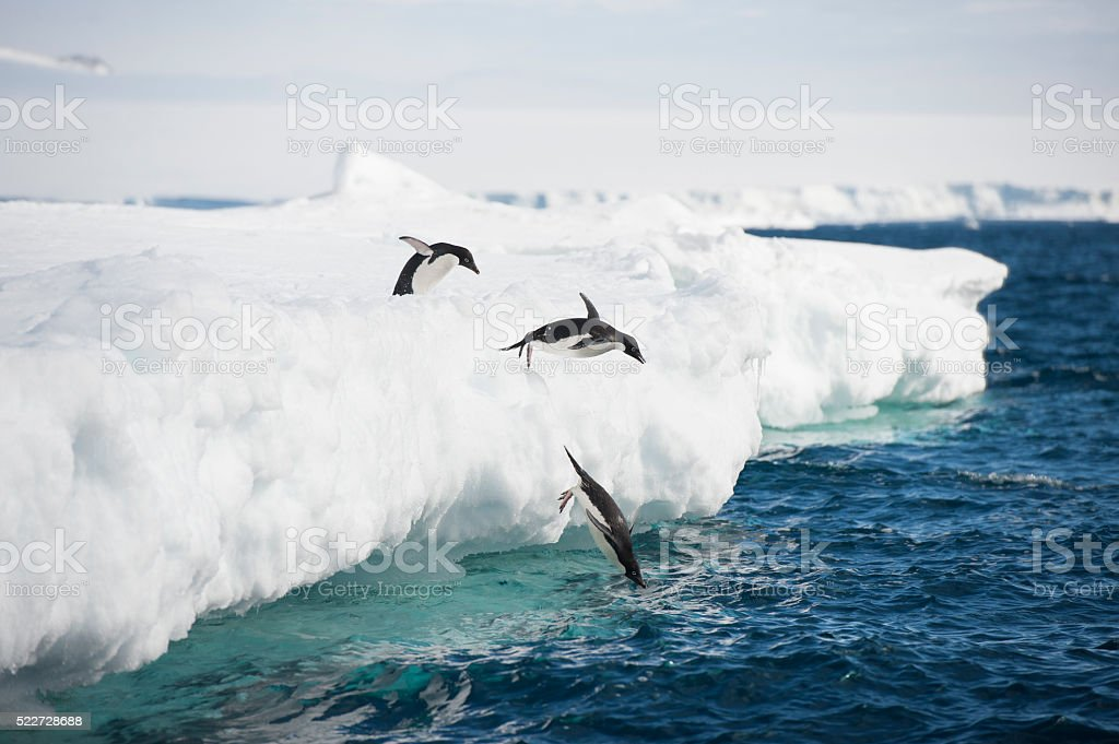 Adelie Penguin stock photo