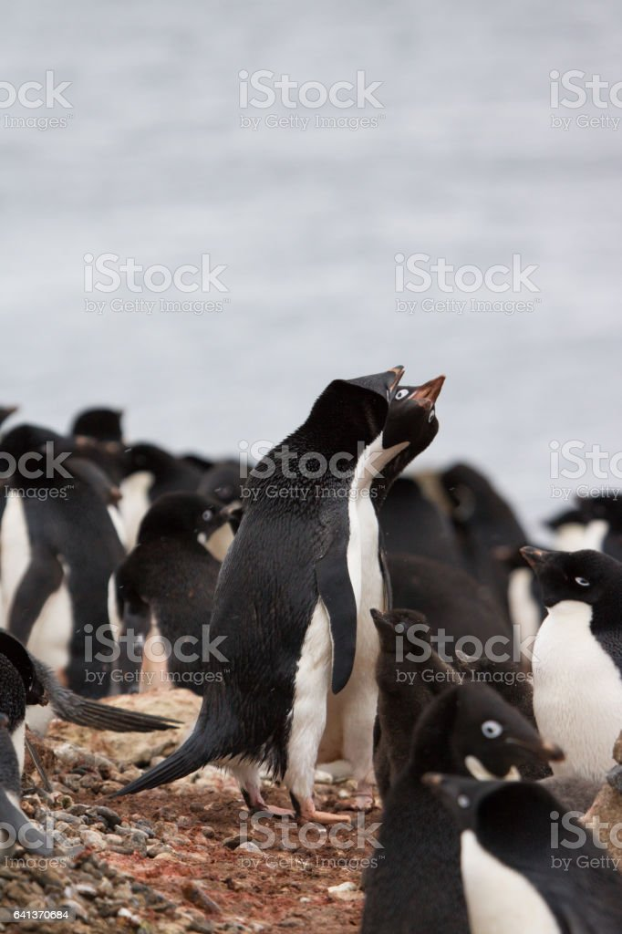 Adelie penguin with chick - Brown Bluff colony stock photo