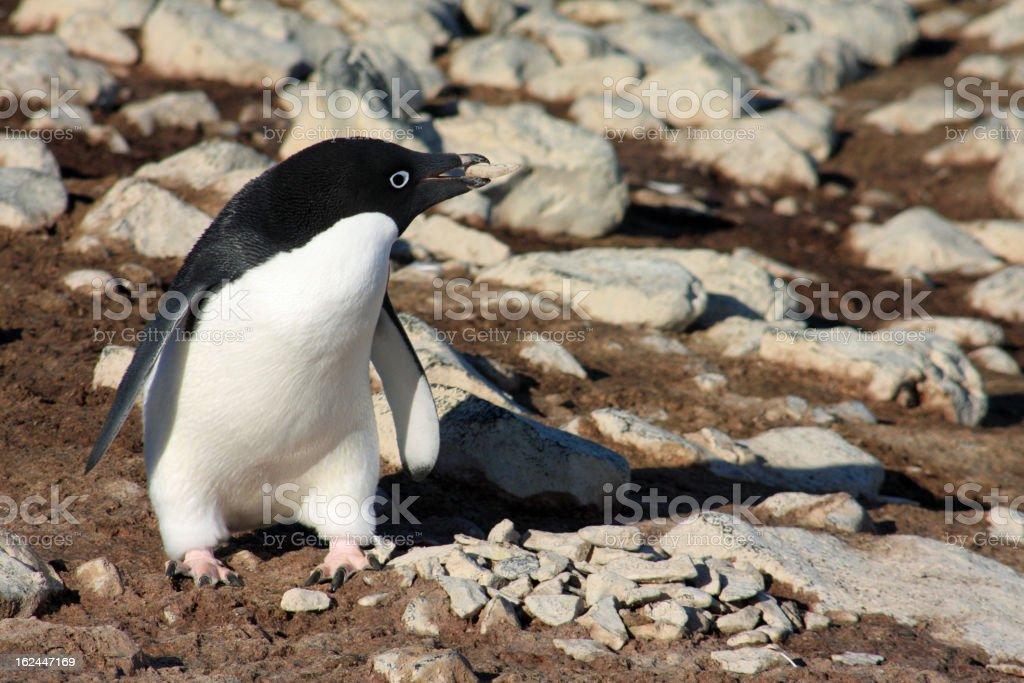 Adelie penguin with stone royalty-free stock photo
