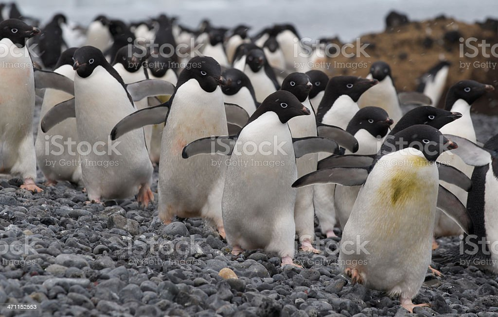 Adelie Penguins at Brown Bluff, Antarctica stock photo