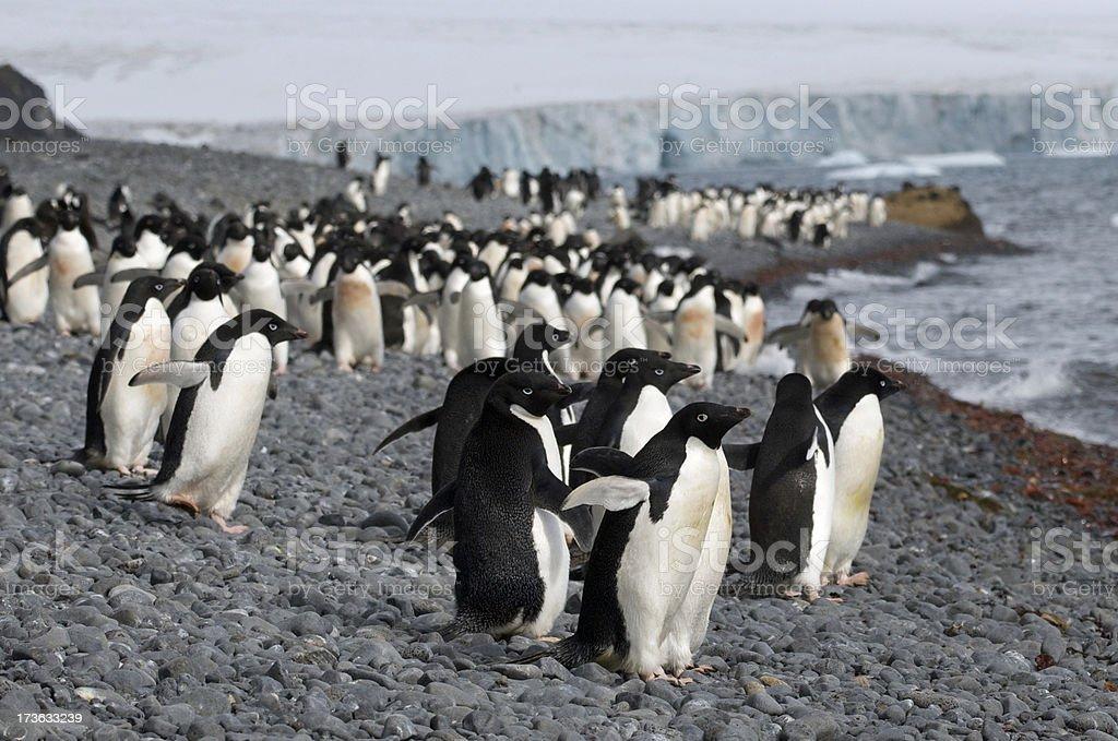 Adelie Penguins in Brown Bluff, Antarctica stock photo