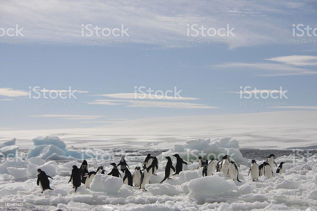 Adelie Penguins on an Iceberg stock photo
