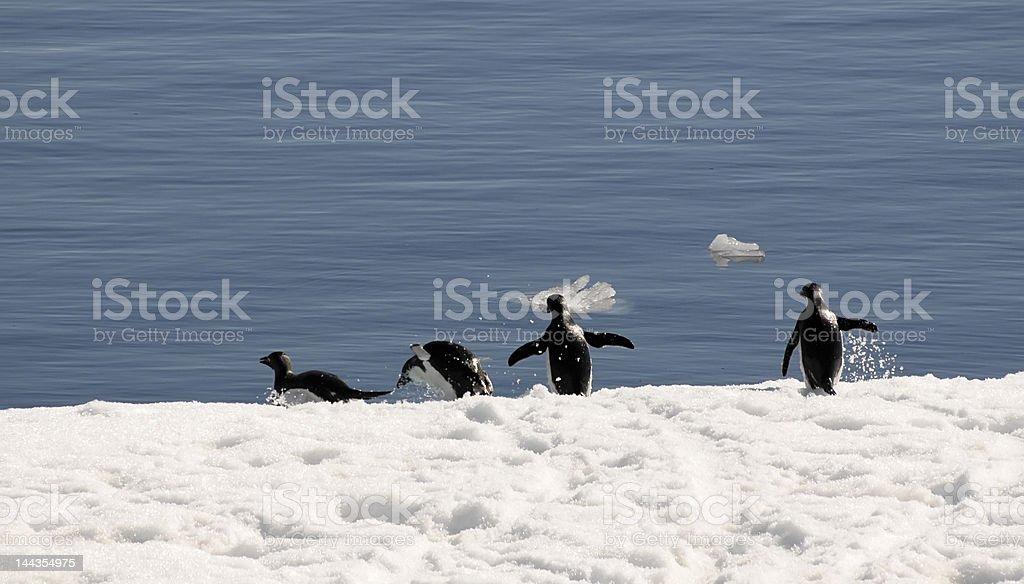 Adelie ペンギンを。 ロイヤリティフリーストックフォト