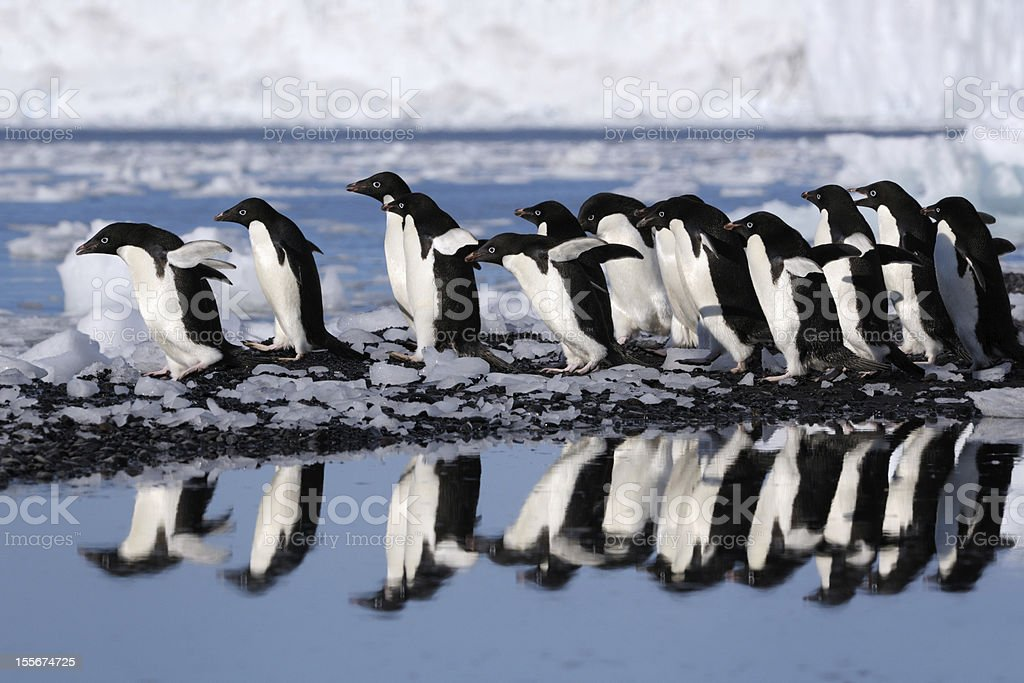 Adelie Penguins royalty-free stock photo