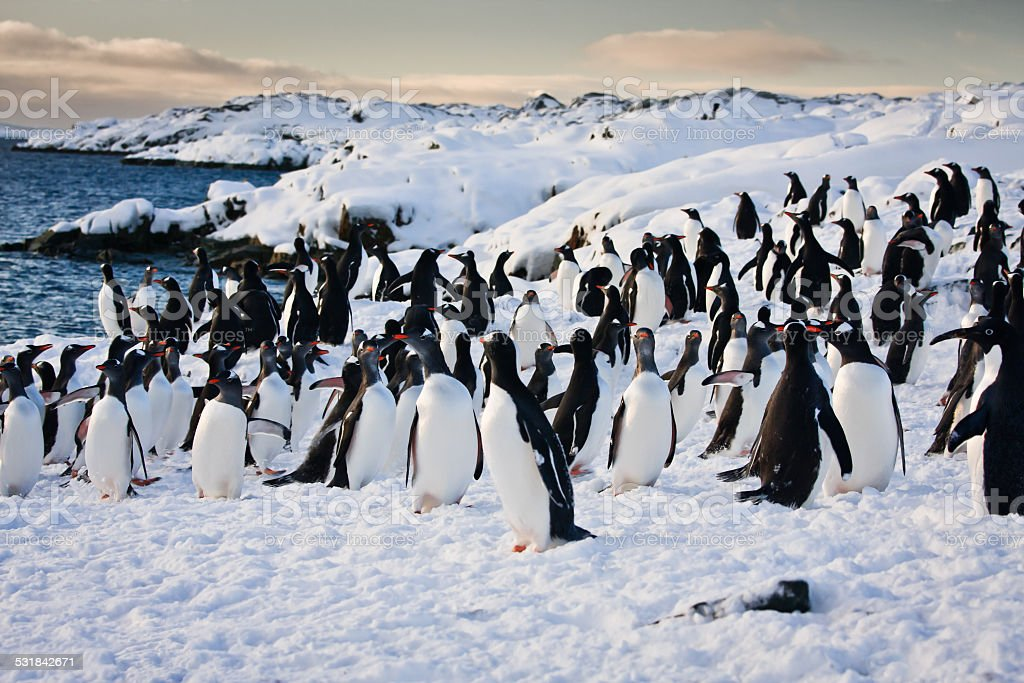 Adelie penguins stock photo