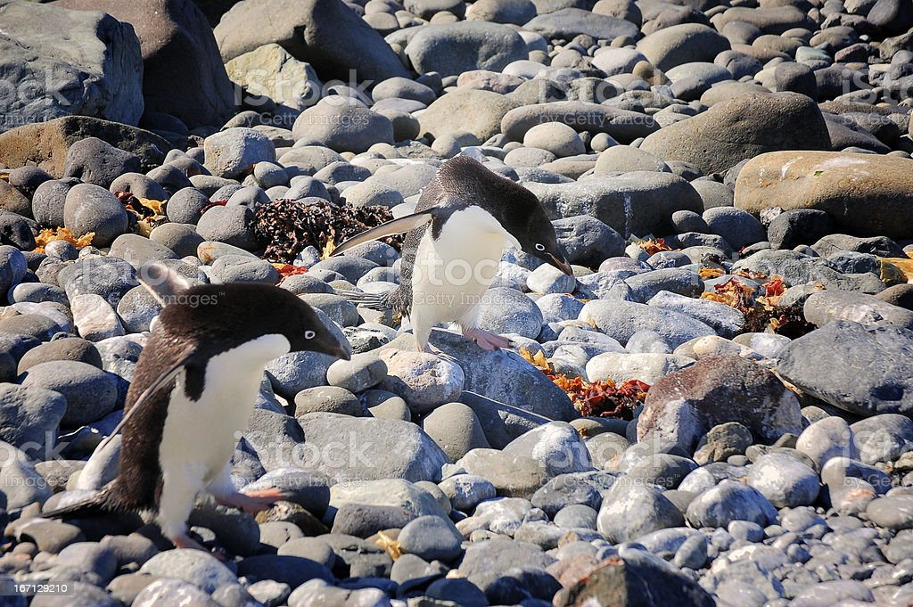 Adelie Penguins Staggering Home stock photo