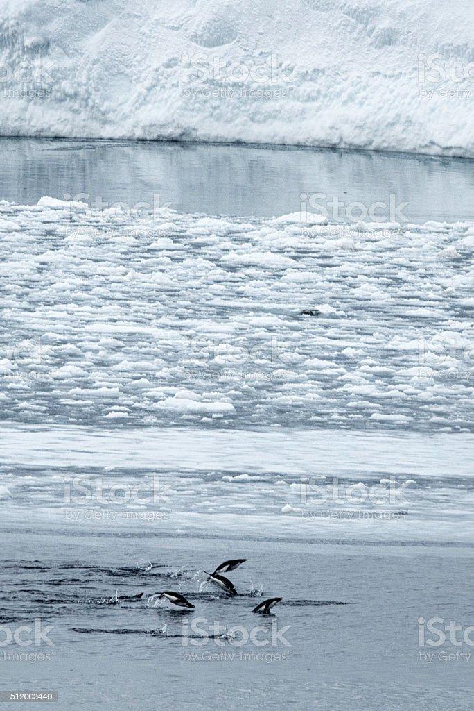 Adelie Penguins Swimming stock photo