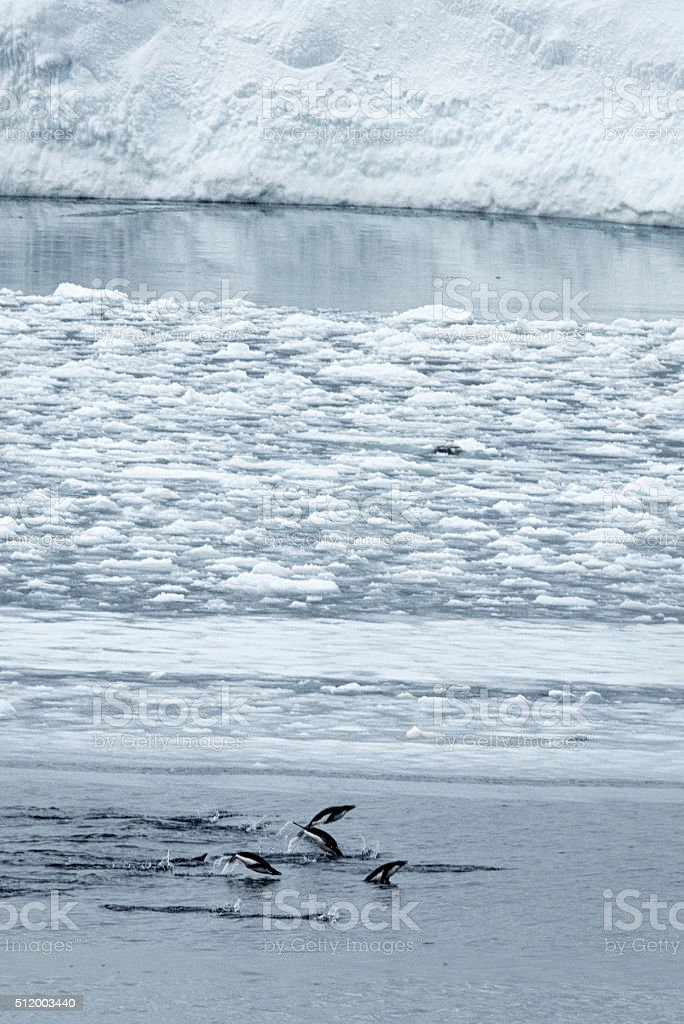 Adelie Penguins Swimming stock photo