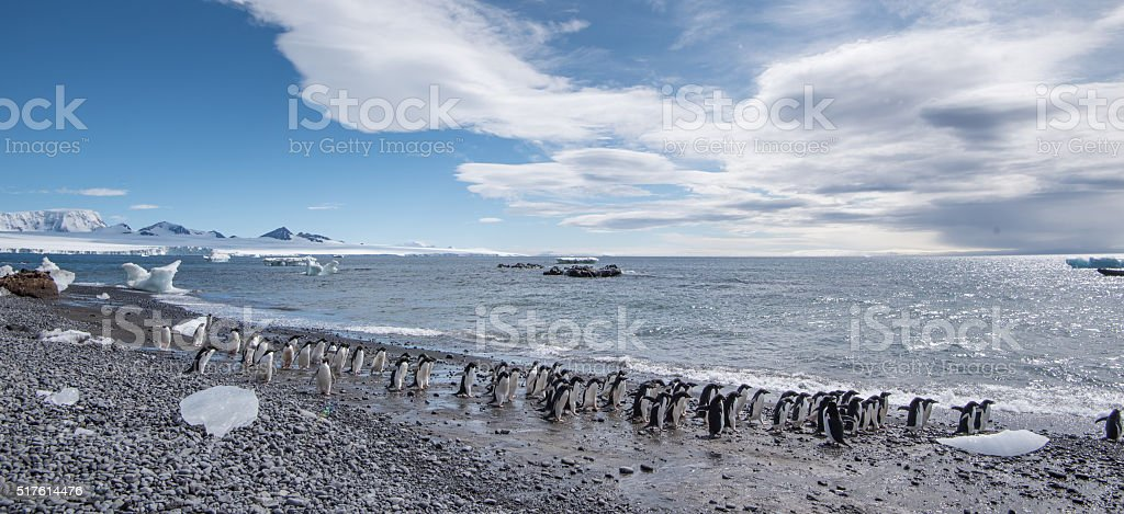 Adelie penguins walking along a black stony beach in Antarctica stock photo