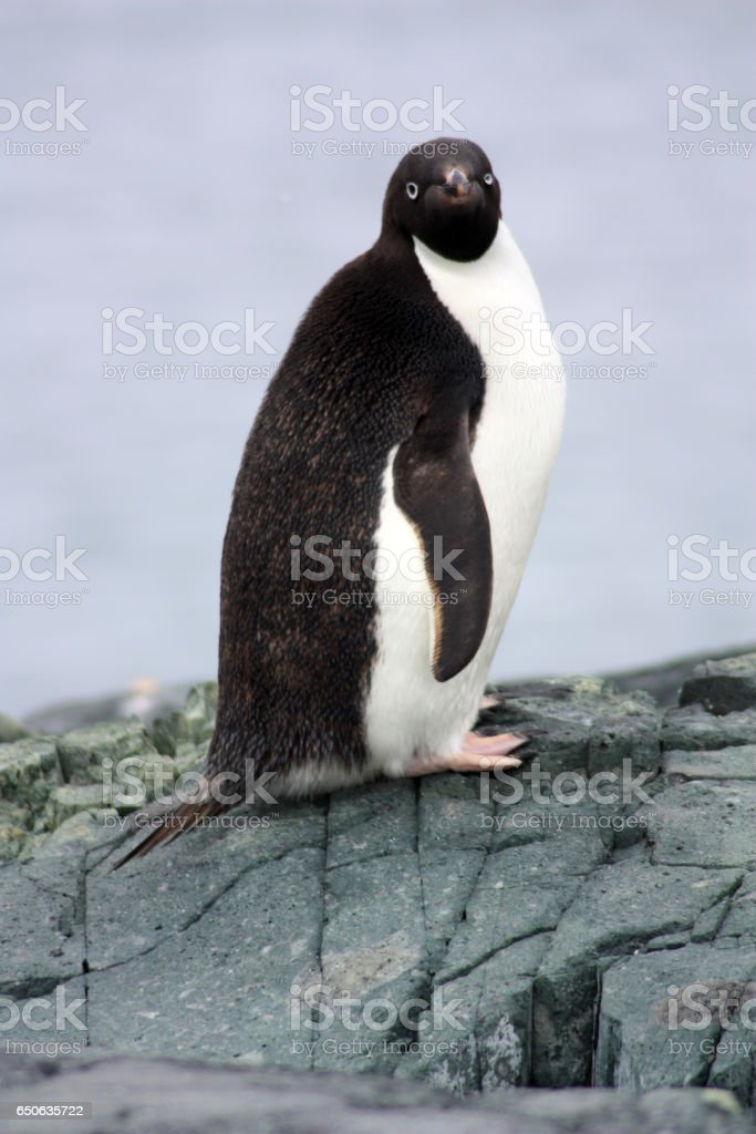 Adelie Pinguin stock photo