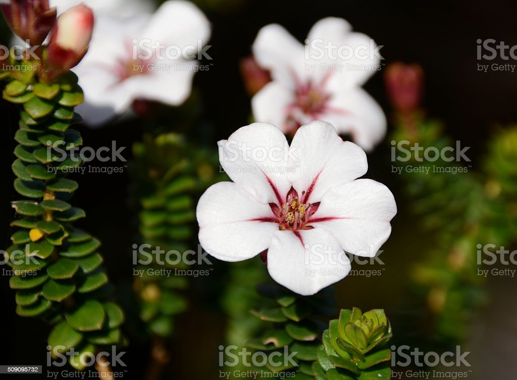 Adenandra villosa (China Flower) (China Flower) stock photo
