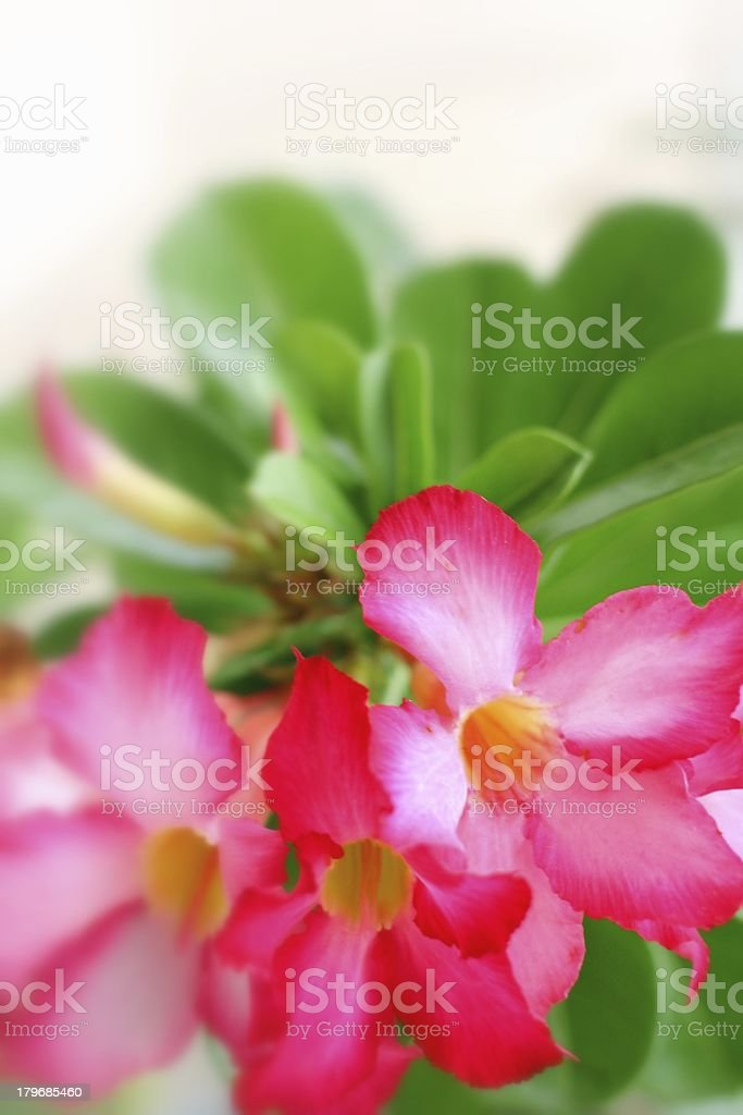 Impala lily adenium royalty-free stock photo