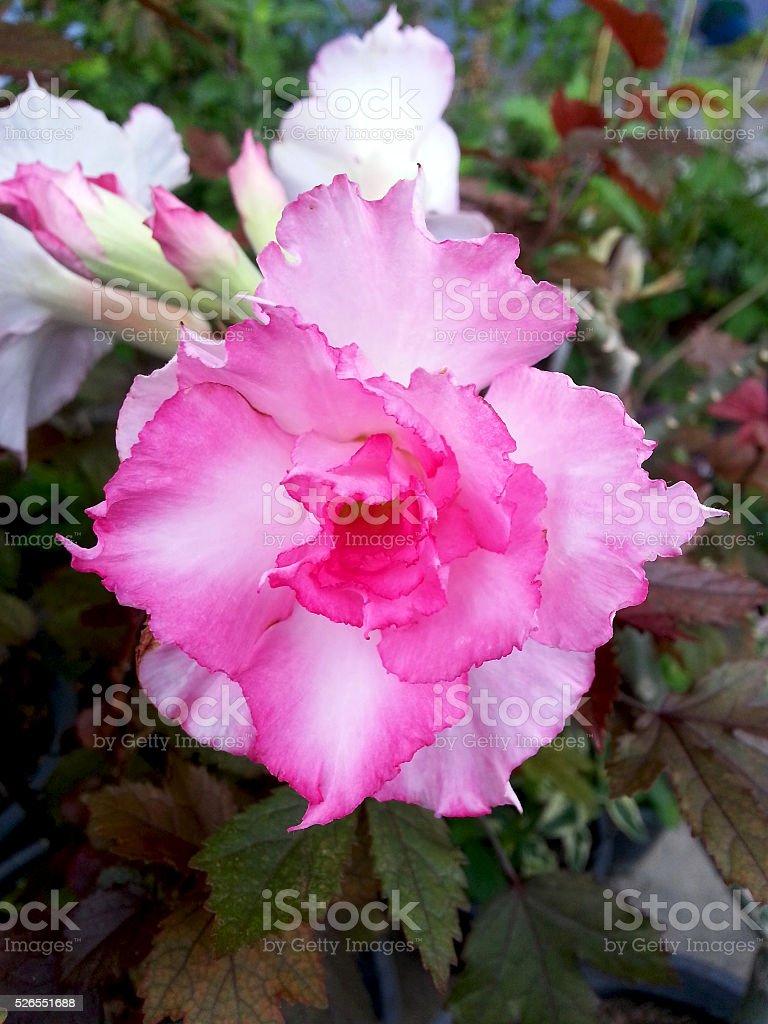 Adenium obesum / Desert Rose / Impala Lily / Mock Azalea flower stock photo