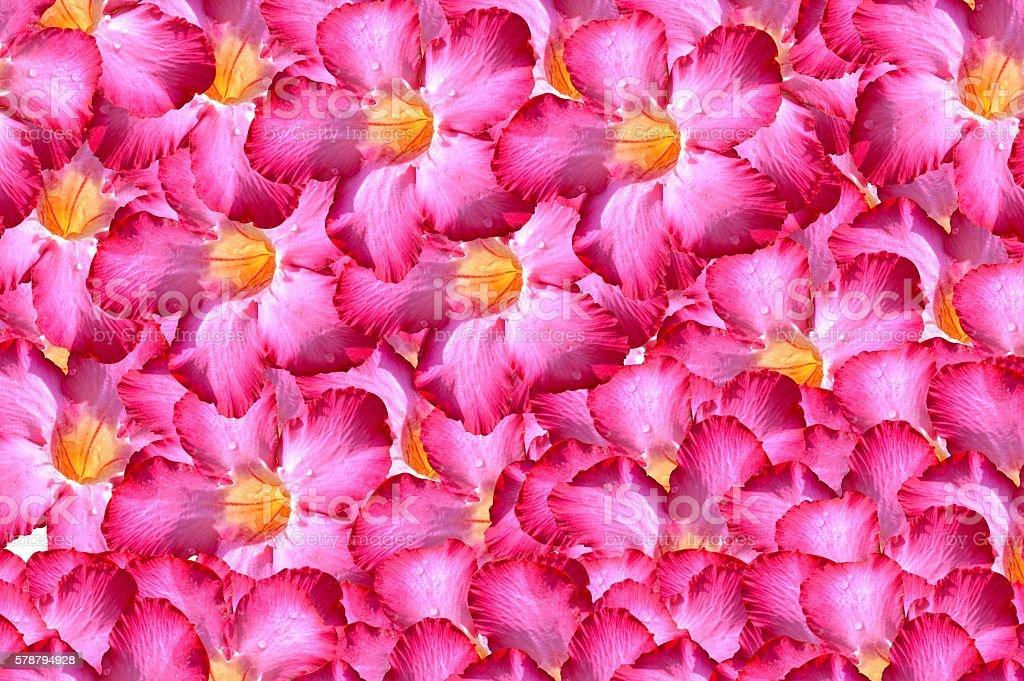 adenium obesum flower pattern background stock photo