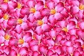 adenium obesum flower pattern background