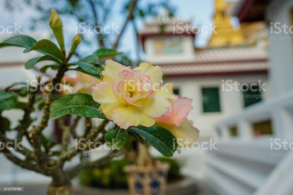 Adenium obesum in temple, Bangkok stock photo