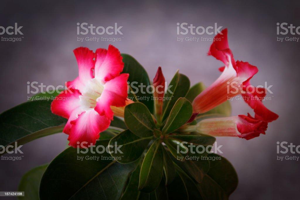 Adenium Obesum stock photo