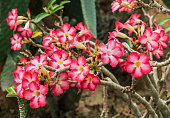Adenium obesum ,Pink Desert Rose blooming in Thailand