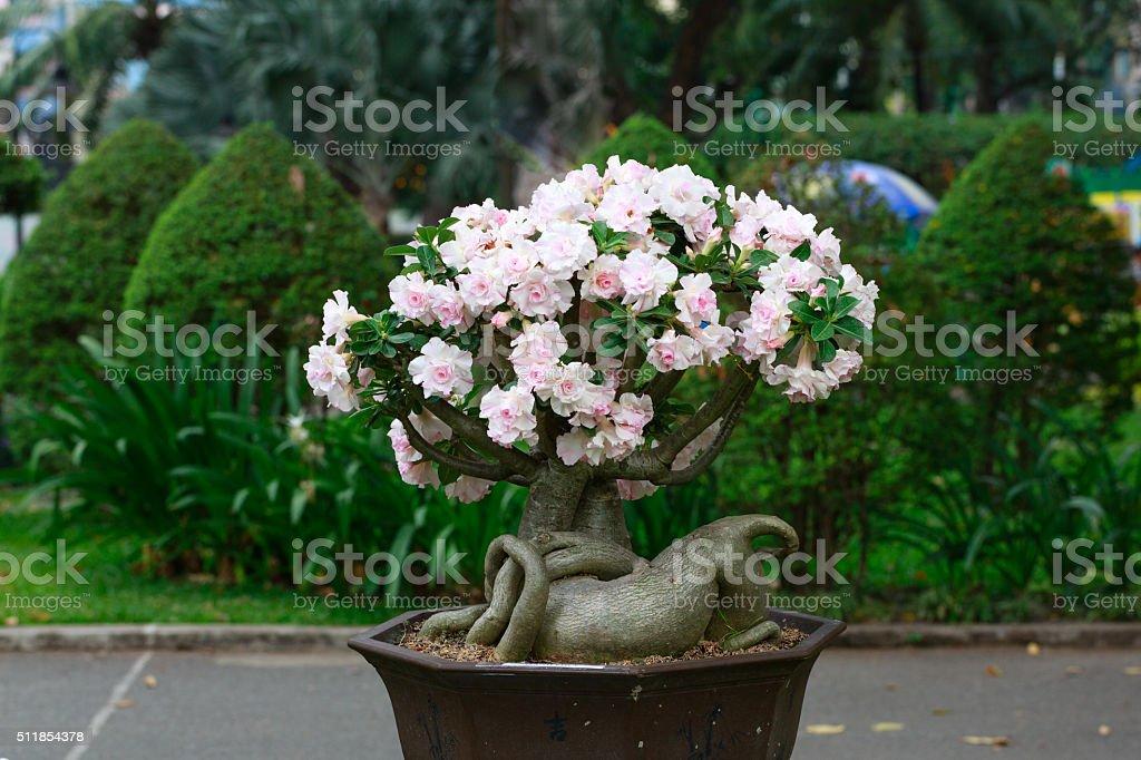 Adenium obesum tree or desert rose in flower pot stock photo