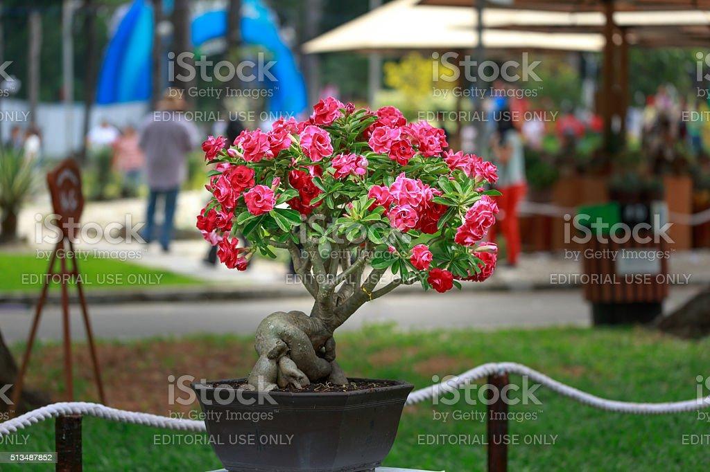 Adenium obesum tree or desert rose in flower pot. stock photo